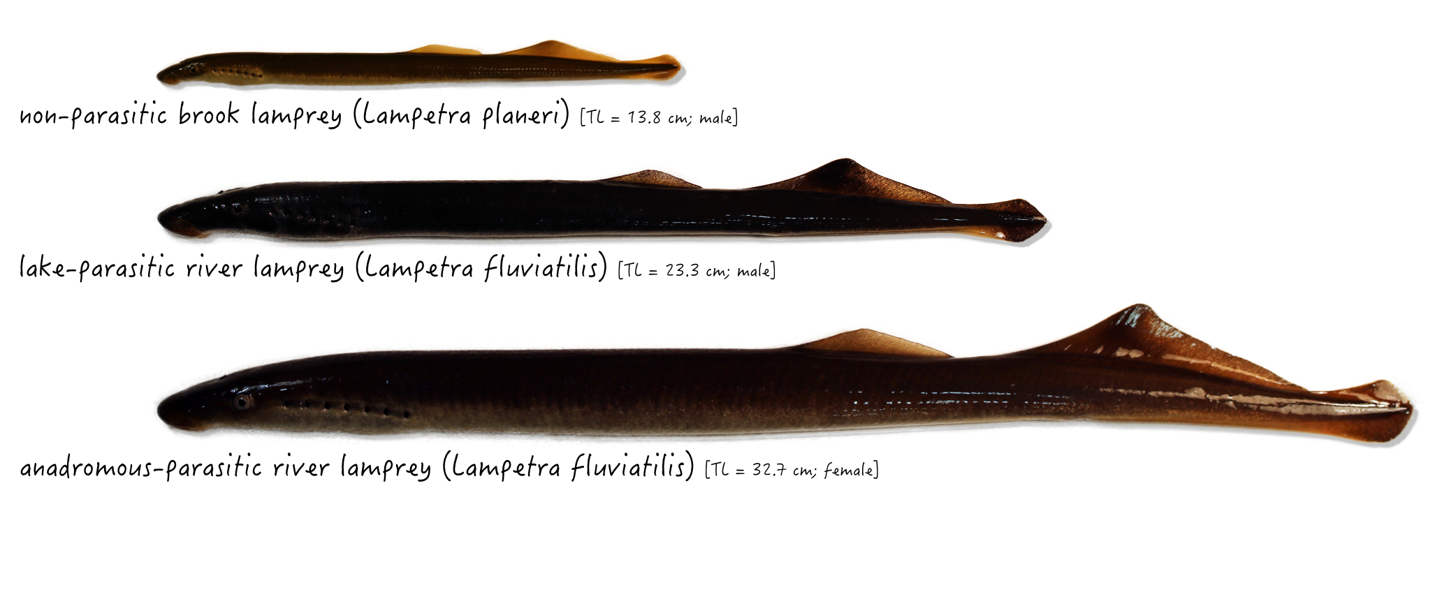 Lamprey_forms_pictures